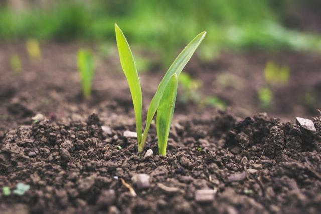 W jaki sposób można realizować ochronę upraw kukurydzy czy rzepaku?